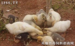 治疗小鹅养殖瘟的药剂防治