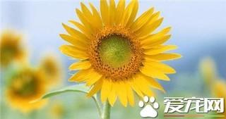 向日葵是怎么传播种子的?向日葵传播种子的方法