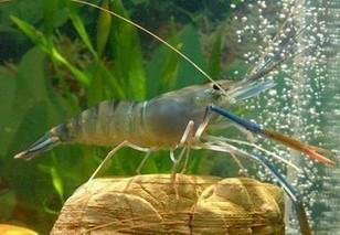 对虾养殖中推荐使用的药物