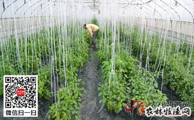 反季节蔬菜施肥技术要领