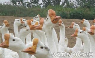 产蛋鹅群蛋子瘟的防治