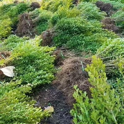 小叶黄杨怎么种植?小叶黄杨种植技术