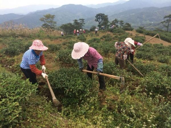 茶园的土壤管理