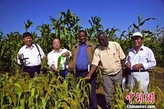中国小谷子非洲种出大事业