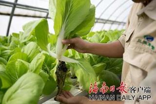 三亚利用黄粉虫种植优质极速5分排列3蔬菜