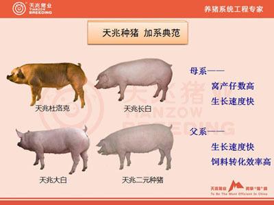 国内八种优良猪种简介