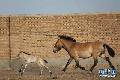 普氏野马进入繁殖高峰期 5月已有4匹马驹出生