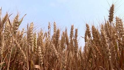 海安市小麦统计单产继续名列全省*