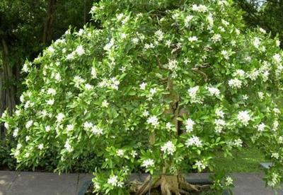 春天九里香怎么养?九里香盆栽养殖方法