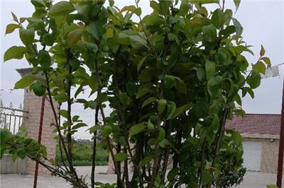 海棠树的品种有哪些?海棠品种哪个最贵?