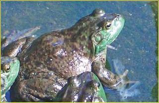 福建南平顺昌:牛蛙养殖技术送上门