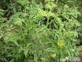 锌肥五施法防农作物缺锌