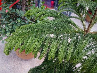 异叶南洋杉怎么养?异叶南洋杉盆景的养殖方法