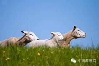 鉴别羊龄有技巧
