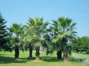 椰子苗怎样种?布迪椰子种植方法