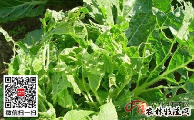 大白菜菜青虫