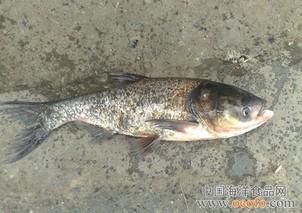"""""""虾+鳜鱼""""工厂化立体养殖省力又高效"""