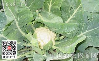 花菜类蔬菜蚜虫的无公害防治方法