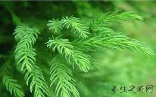 柳杉的功效与作用