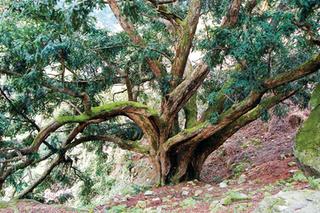 松阳:一人十棵香榧树 脱贫养老两不误