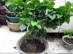 花木压条繁殖