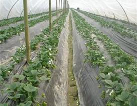 塑料大棚草莓促成栽培在显蕾期覆盖地膜 这个时期植株韧性*