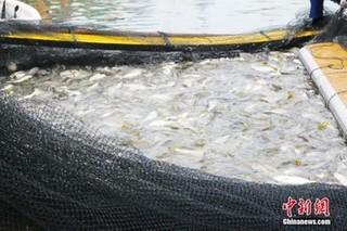 上百亿宁德大黄鱼进入捕捞季