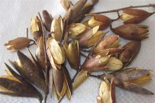 香椿籽的功效