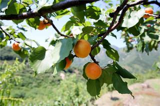北京平谷:万亩北寨红杏成熟待采