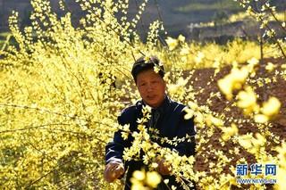 河南省卢氏县:连翘种植 助农增收