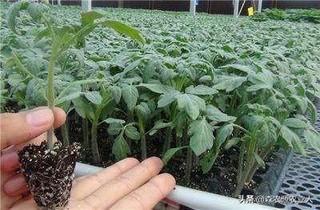 大棚茄子的定植与管理