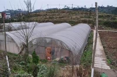 重庆七千亩蔬菜基地收成好
