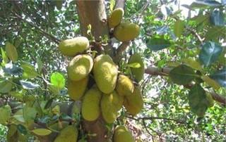 树菠萝的特点及其育苗技术