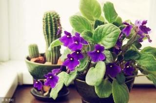非洲紫罗兰的生长习性如何
