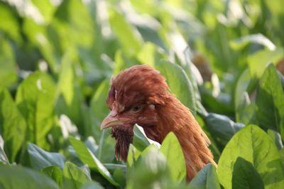"""""""北京油鸡""""助力脱贫,并荣获国家农产品地理标志认证"""