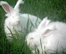 秋冬季节长毛兔的饲养管理要点