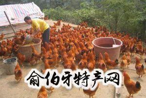 黑龙江黄鸡
