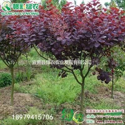 紫叶红栌怎样栽培?美国紫叶红栌栽培技术