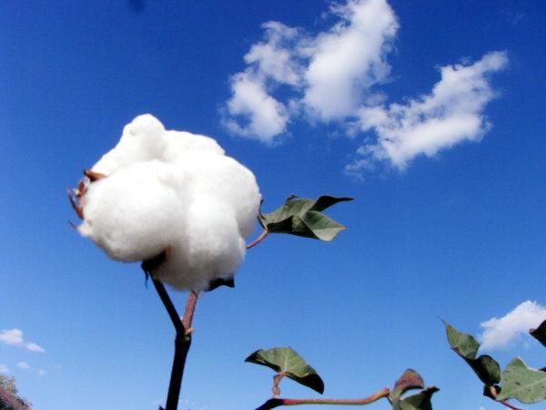 充分利用光热调控棉花生长