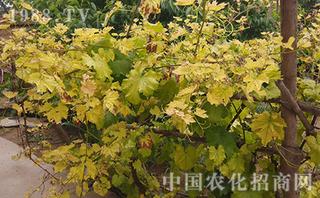 葡萄叶子变黄的原因