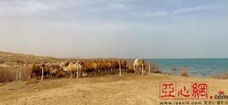 新疆和硕千峰骆驼迎生产期