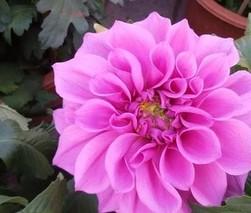 牡丹花什么颜色最贵?哪种牡丹的颜色最好看?