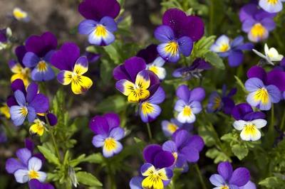 三色堇种子的种植方法和时间