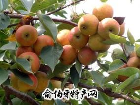 """""""美呱王""""苹果梨"""