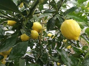重庆潼南区建成柠檬脱毒育苗中心