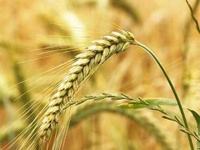 河北计划推广节水小麦536万亩