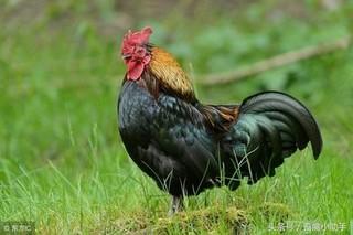 如何降低肉鸡药物残留