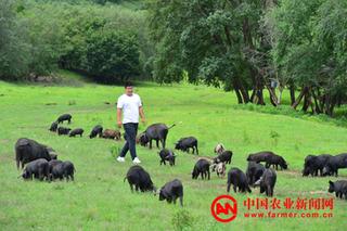 草原深处的野猪养殖场