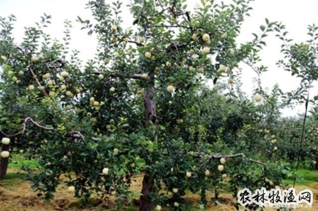 郁闭密植苹果园的改造