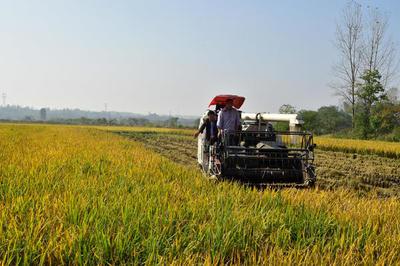 一稻两收 亩均增效千元